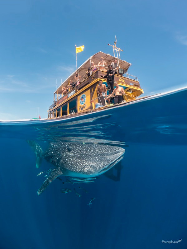 Best Whale Shark Picture